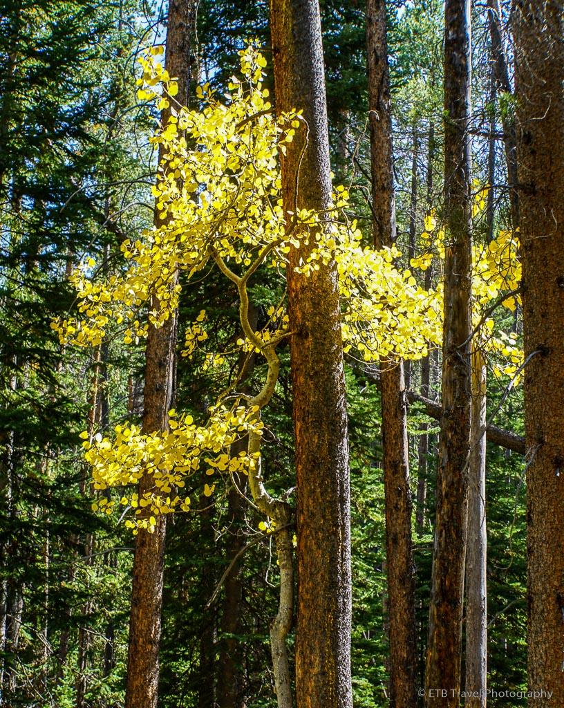 single aspen tree growing by lodge pole pine