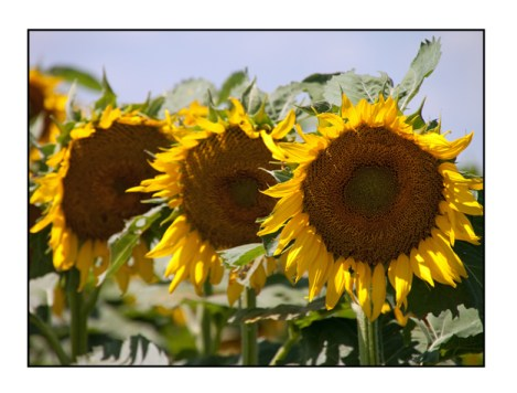 photographic note card, sunflowers