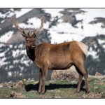 photographic note card, elk in rocky mountain national park