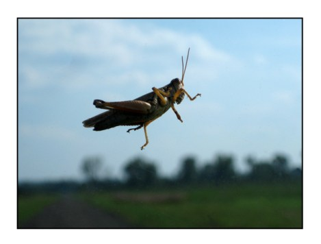photographic note card, grasshopper