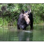 photographic note card, moose in wyoming