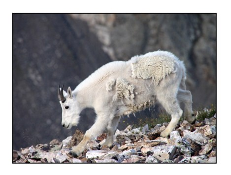 photographic note card, mountain goat in colorado