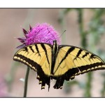 photographic note card, western tiger swallowtail butterfly