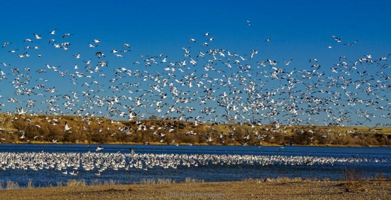 whooping cranes at Lake Rita Blanca