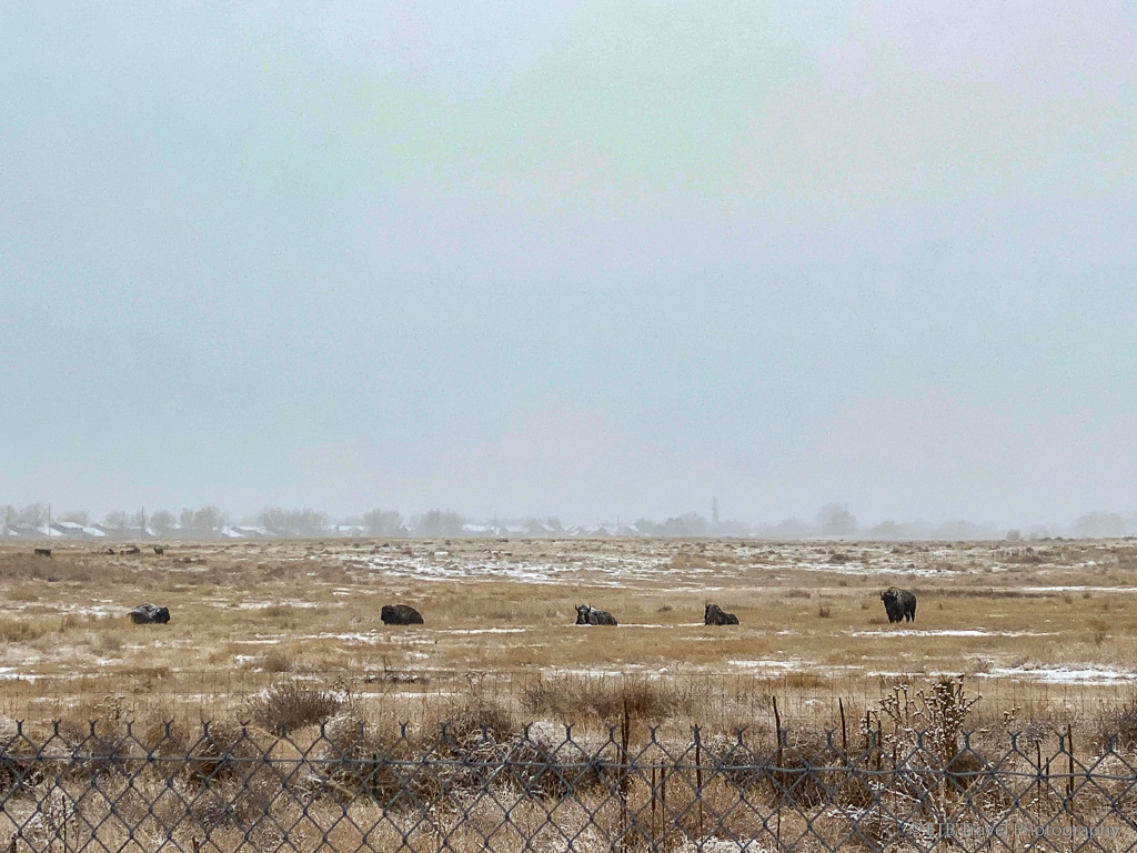 buffalo at Rocky Mountain Arsenal National Wildlife Refuge