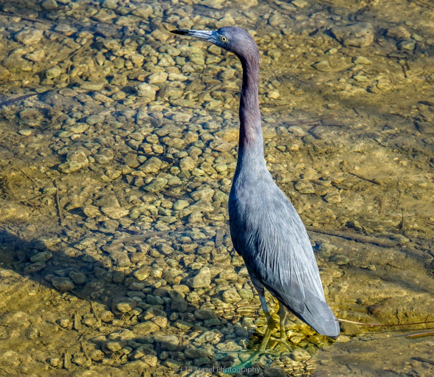 blue heron in the everglades