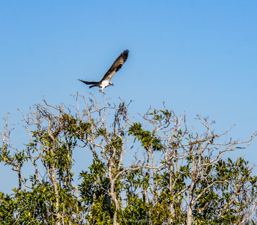 osprey in the everglades