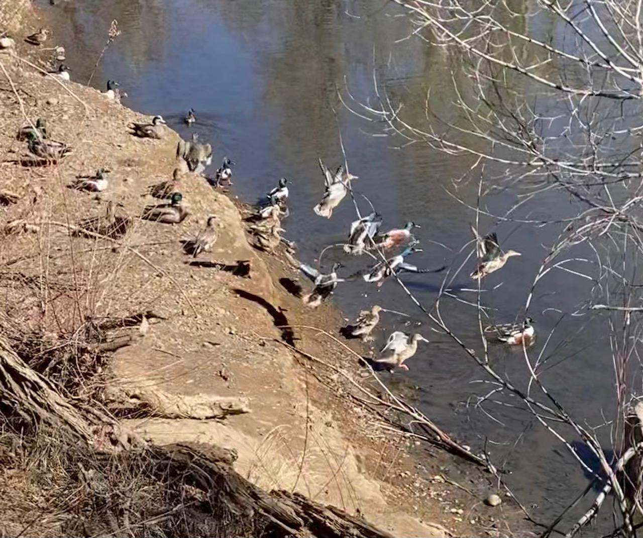 ducks on the platte river trail