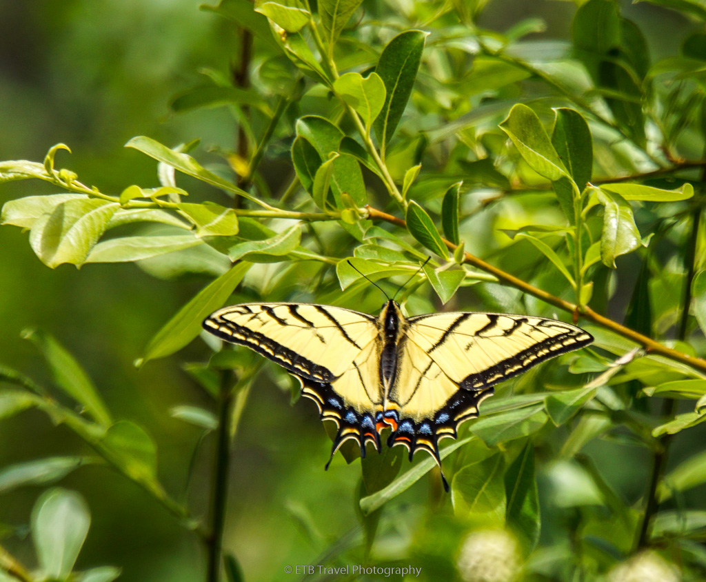 swallowtail on hazard creek trail