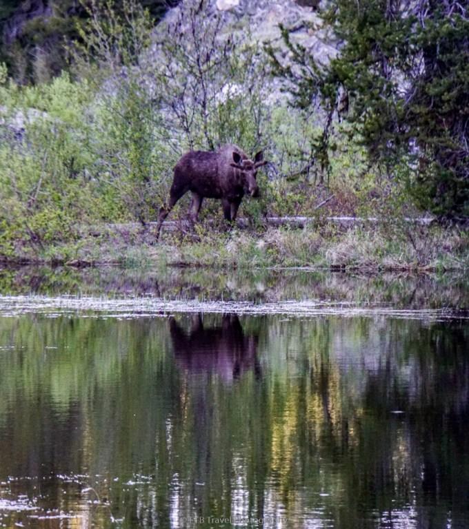 moose in payette lake