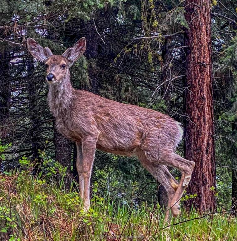deer at ponderosa state park