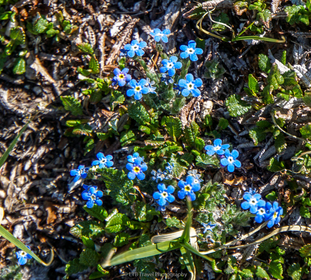 forget me nots on second creek trail