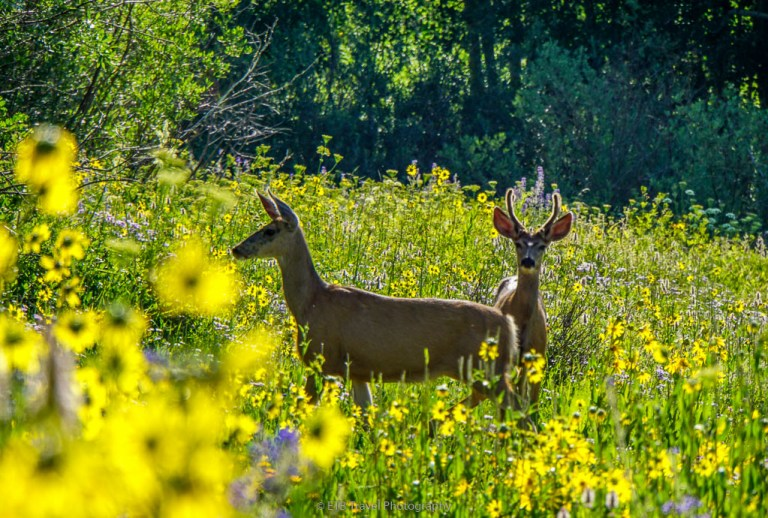 deer in the wildflowers on snodgrass trail in crested butte