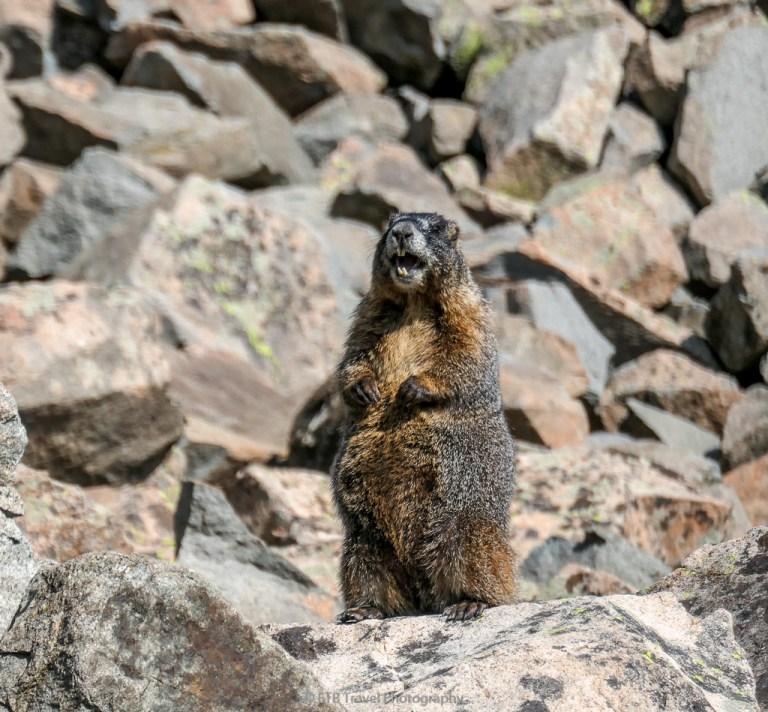 marmot in walden