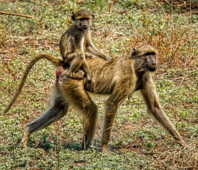 mama baboon and baby at flatdogs