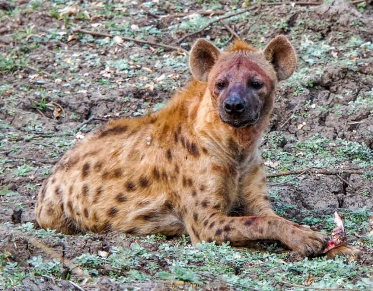 hyena with scraps