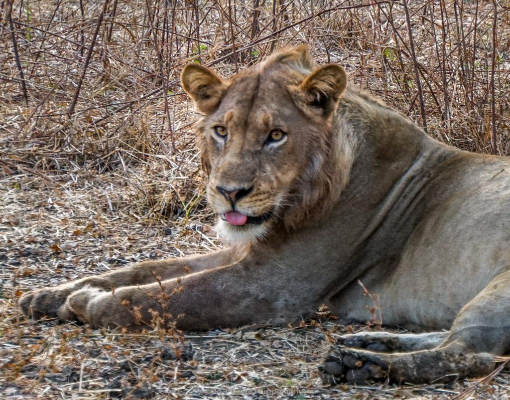 male lion on guard