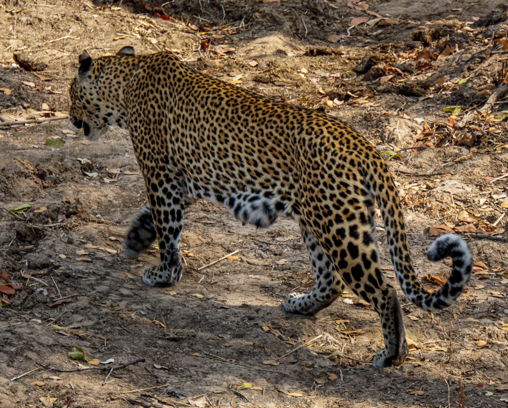 mama leopard leaving to hunt
