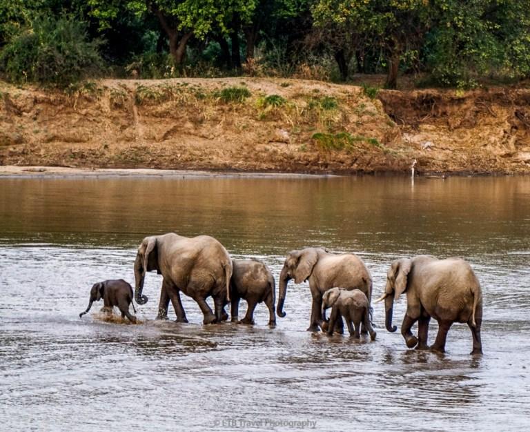 elephants cross the Luangwa river