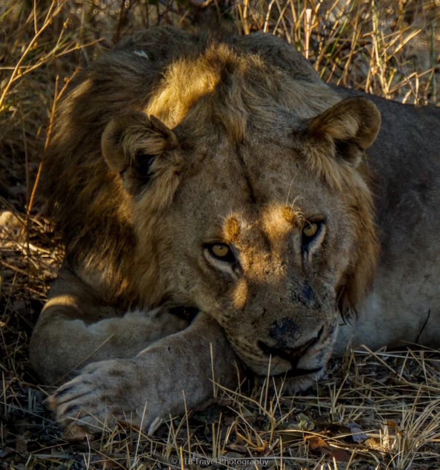 male lion in zambia