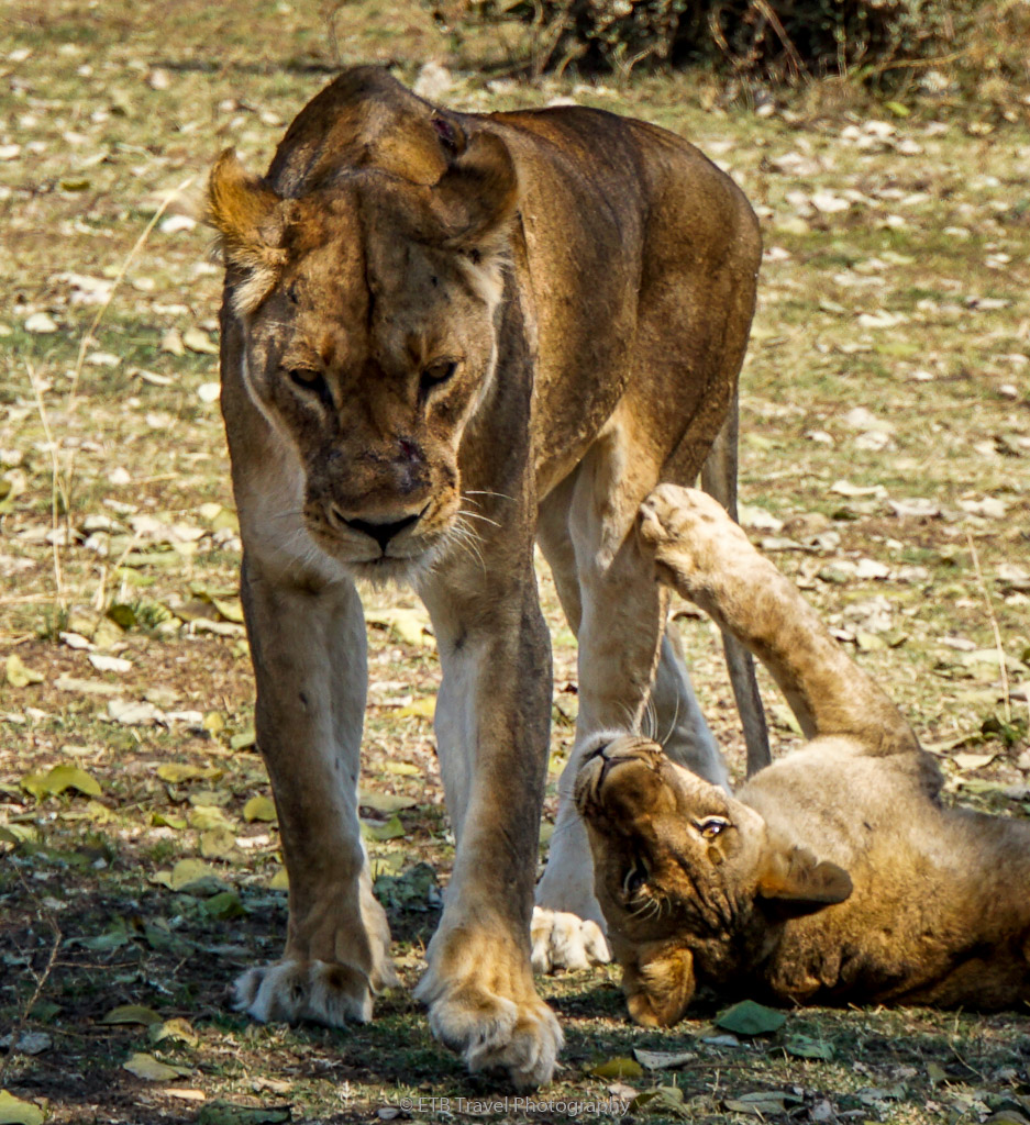 lioness and cub in zambia