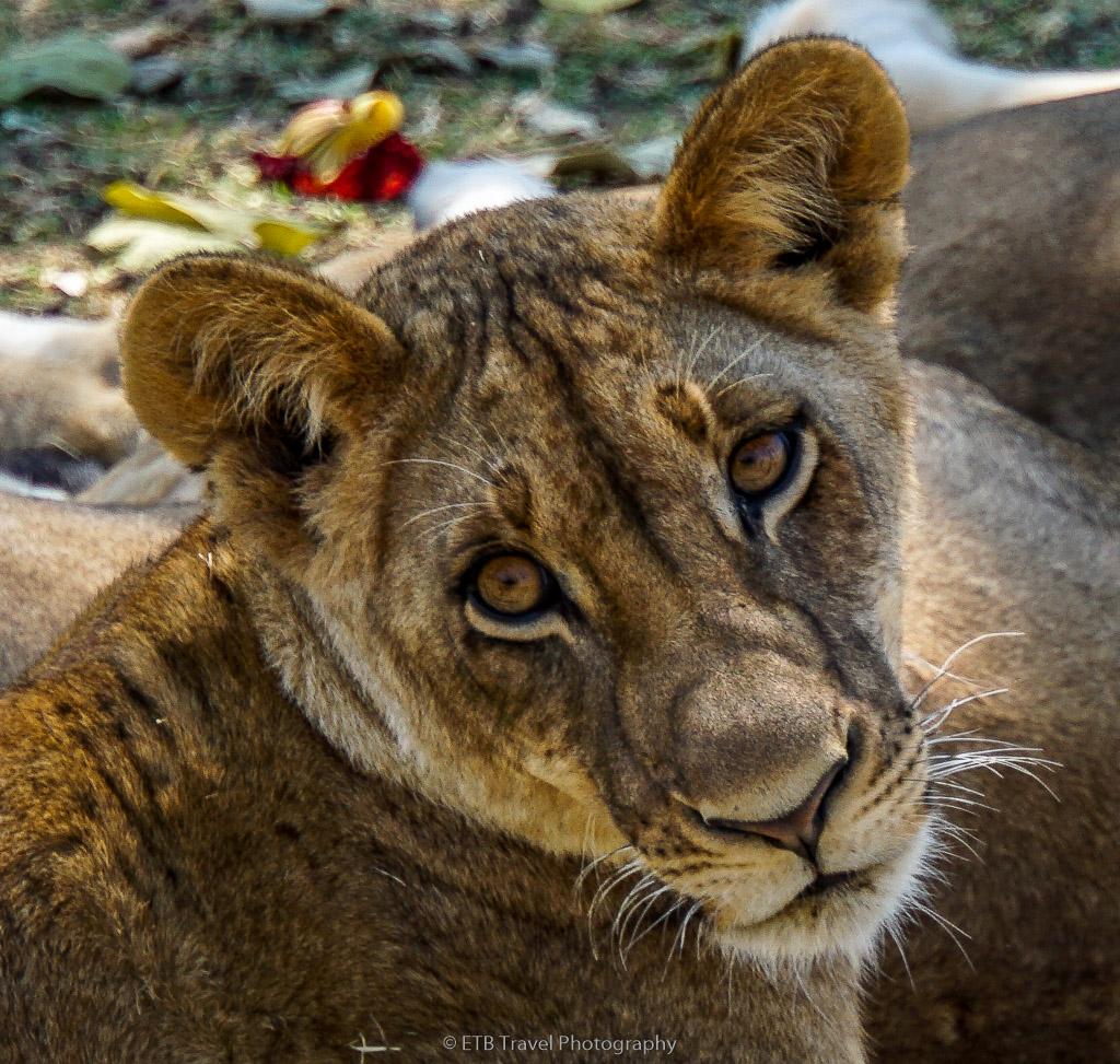 cub in zambia
