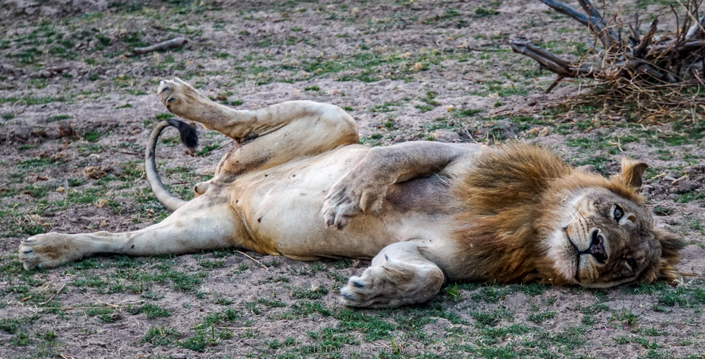 male lion in south luangwa national park