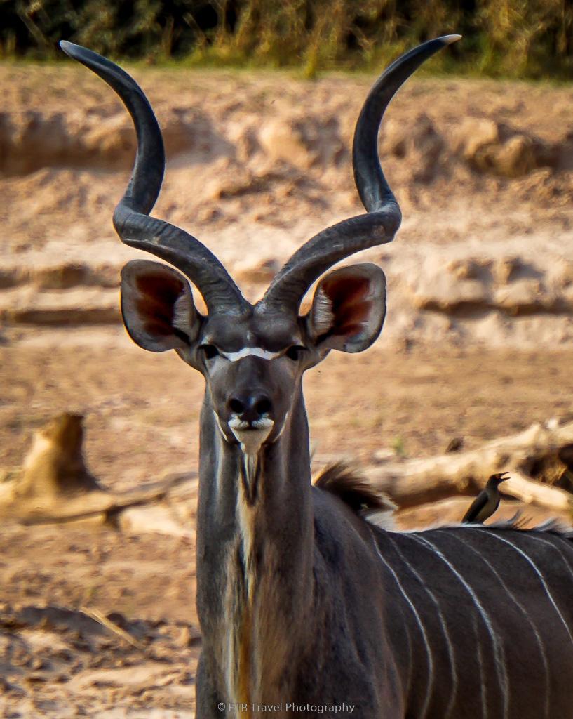 kudu in south luangwa national park
