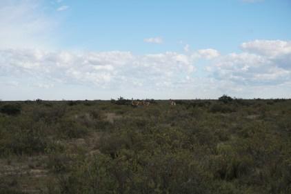Des guanacos ou lamas patagons bizarres