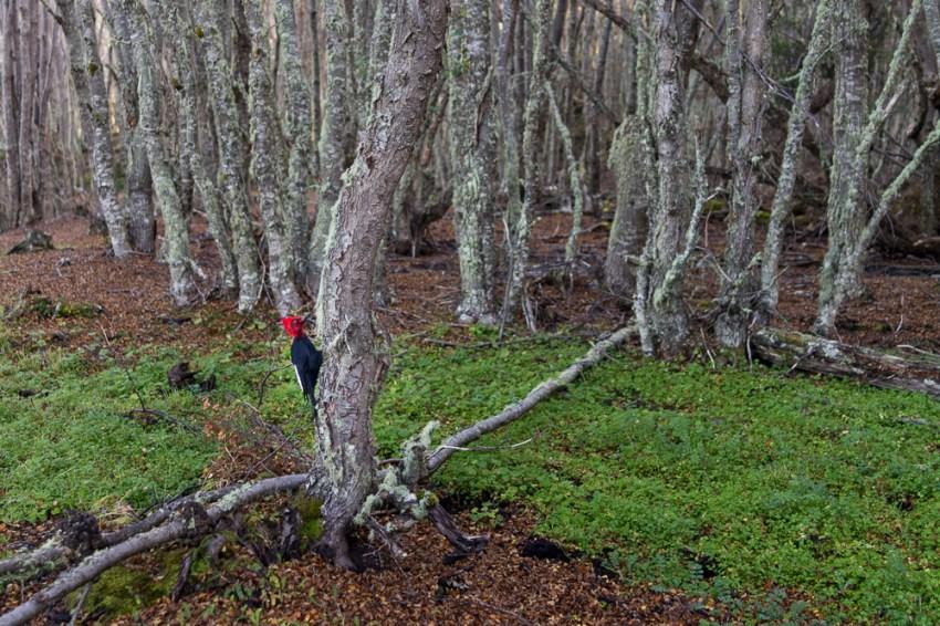 Woody Woodpecker passe lui aussi ses vacances à Ushuaïa.
