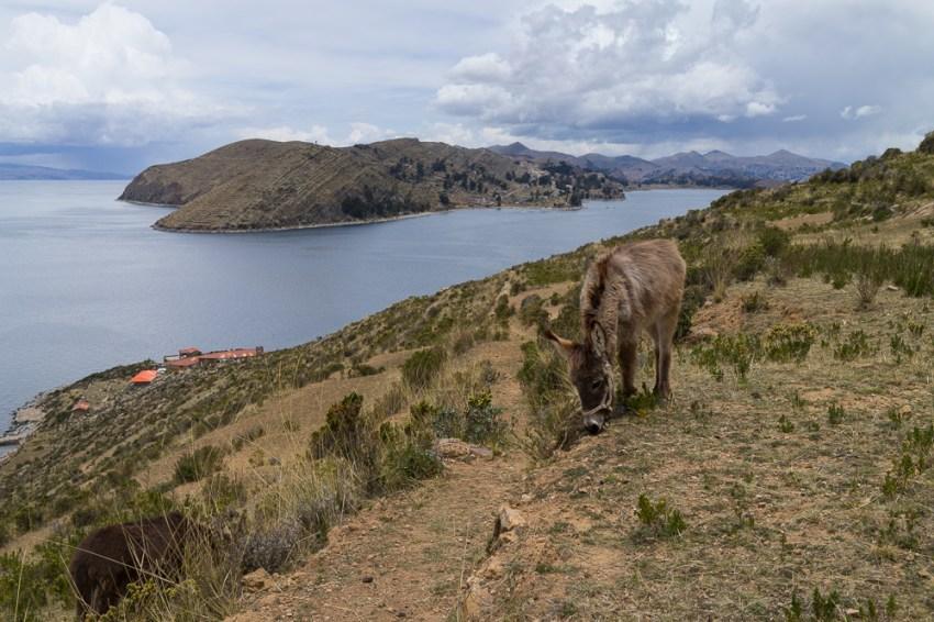Pour cet âne, l'origine du nom Titicaca importe peu du moment que l'herbe est au rendez-vous.
