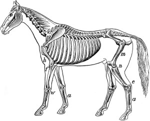 Skeleton of a Horse | ClipArt ETC