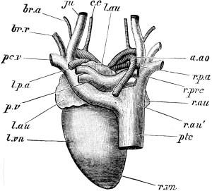 Pigeon Heart | ClipArt ETC