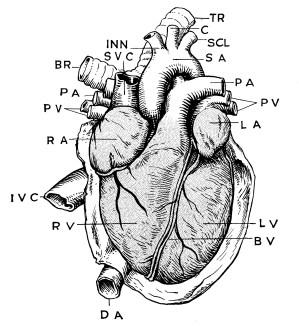 Anatomy of Heart   ClipArt ETC