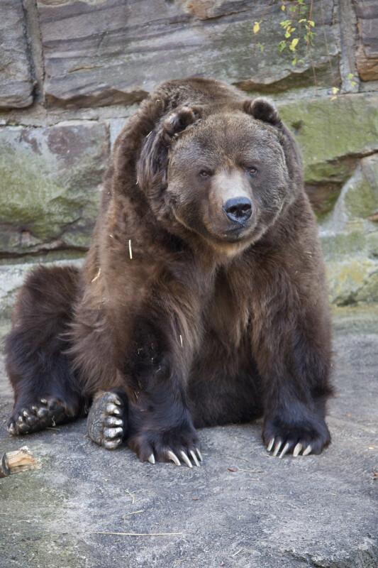 Kodiak At Pittsburgh Zoo ClipPix ETC Educational Photos