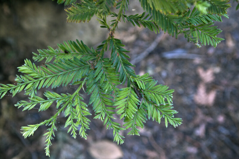 Terminal End Of A Coast Redwood Branch ClipPix ETC Educational Photos For Students And Teachers