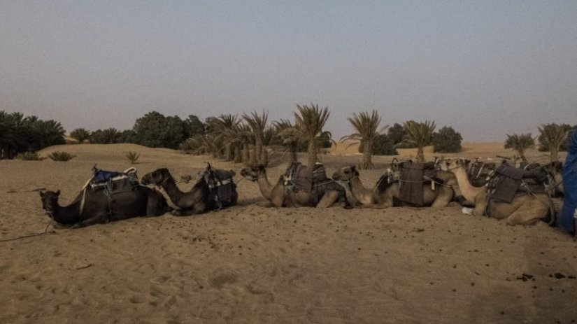 A group of camels near the dusk hour sitting on the sand