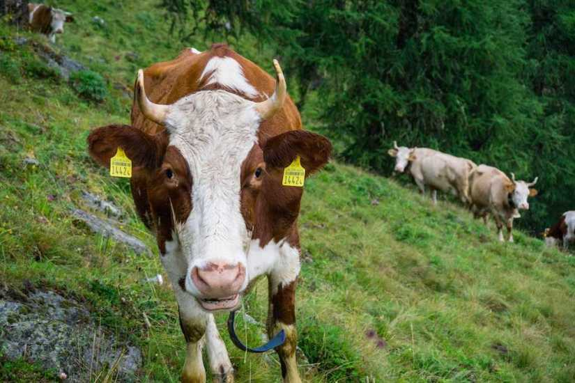 The cows of Nendaz Switzerland - so adorable!