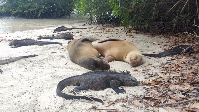 Seals and iguanas relaxing on a beach. Galapaagos.