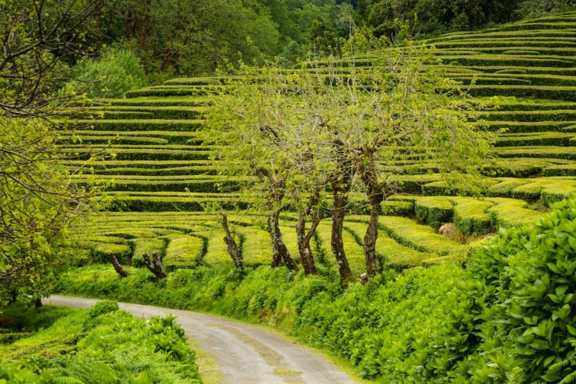 tea plantations next to a road and trees