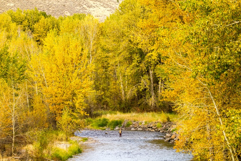 Yellow trees in autumn surrounding a blue river, with a person standing in the middle of the river fly fishing.