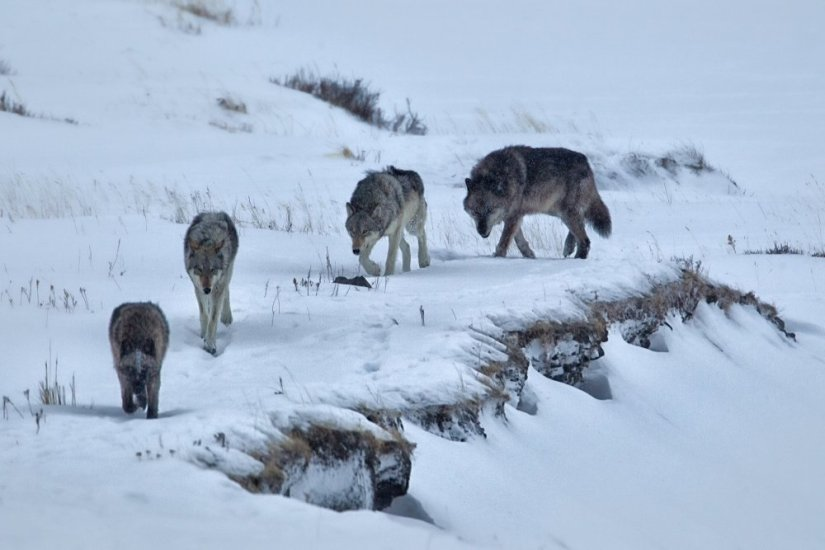 Pack of four wolves walking through snow in Yellowstone National Park in winter