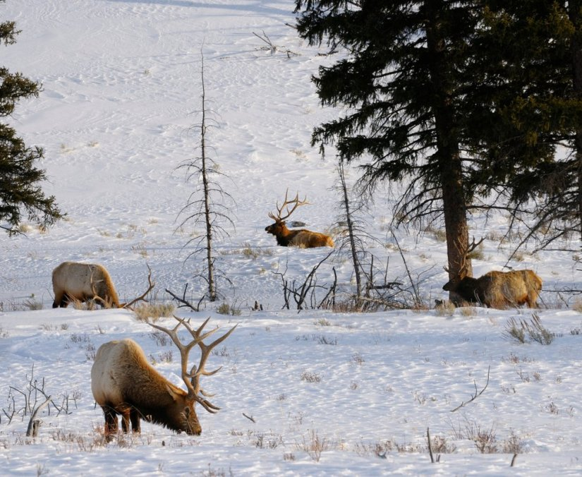 Pack of elk with horns eating in the snow