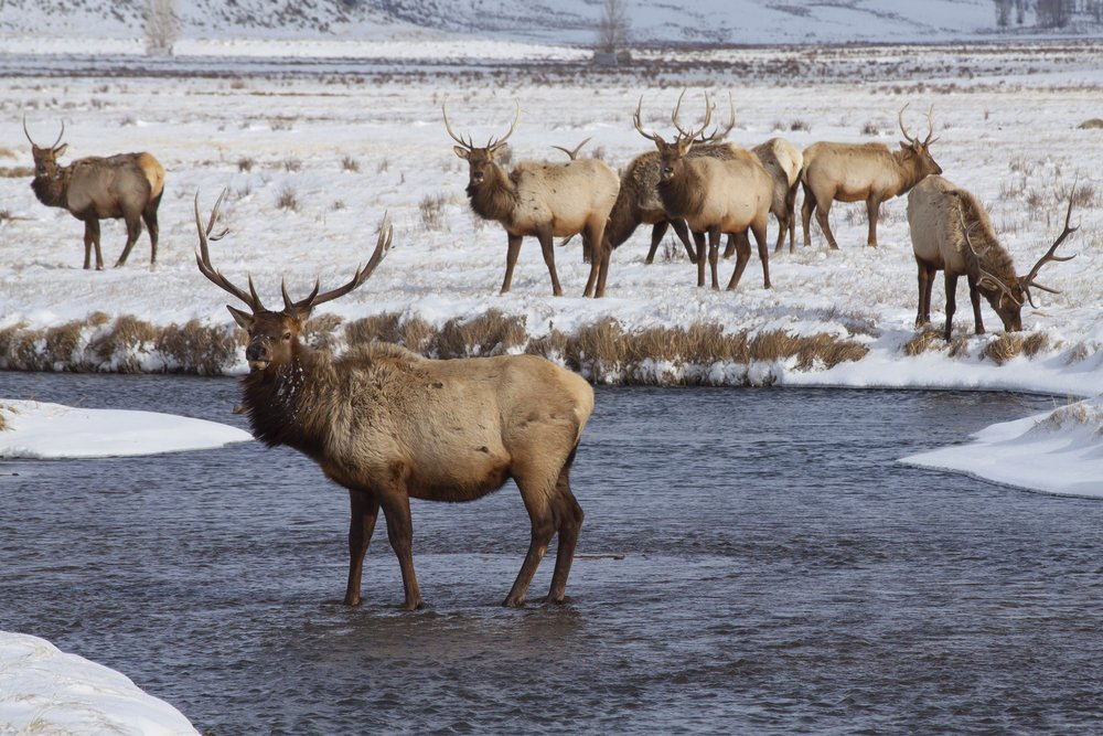 Pack of elk with horns with one standing in the river and others in background