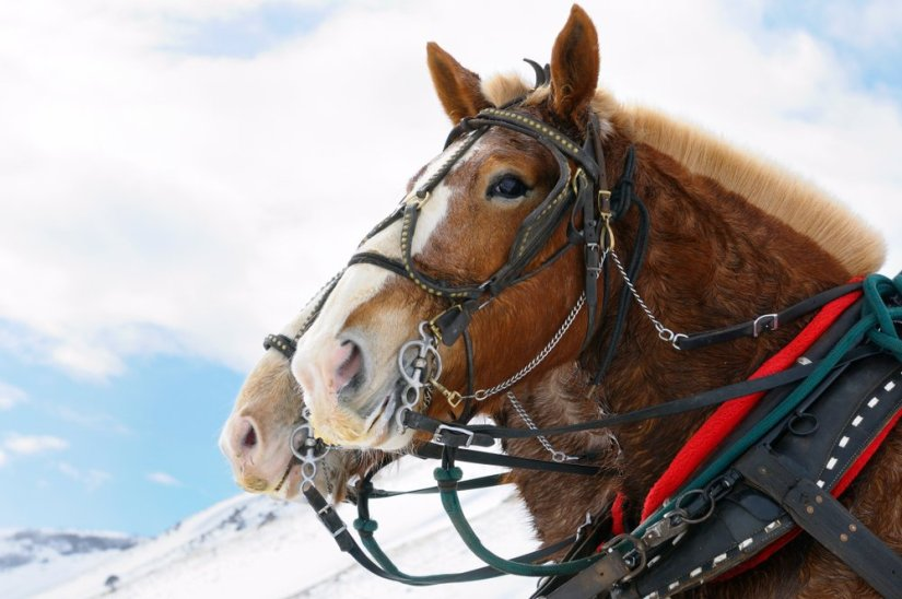 Two brown horses in profile wearing bridal, reins, and other horse gear in order to bring travelers on a sleigh ride.