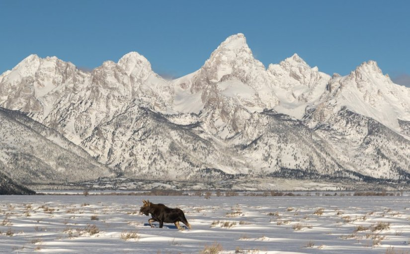 A moose walking through the snow with snow-covered Grand Teton range behind him in winter