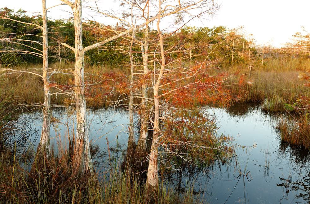 Swamp with vibrant autumn foliage, tan marsh grass and still water, on the Pahayokee Trail.