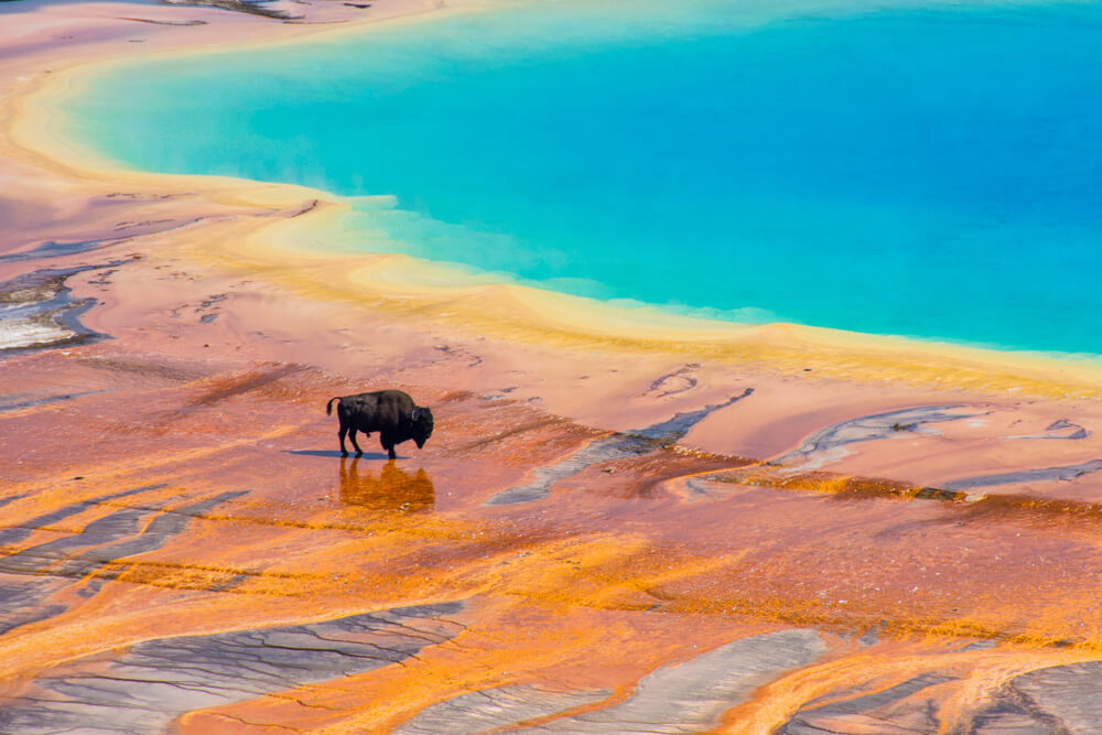 A bison on the edge of the orange part of Grand Prismatic Spring, the turquoise center of the spring is close by in the upper right corner of the photo.