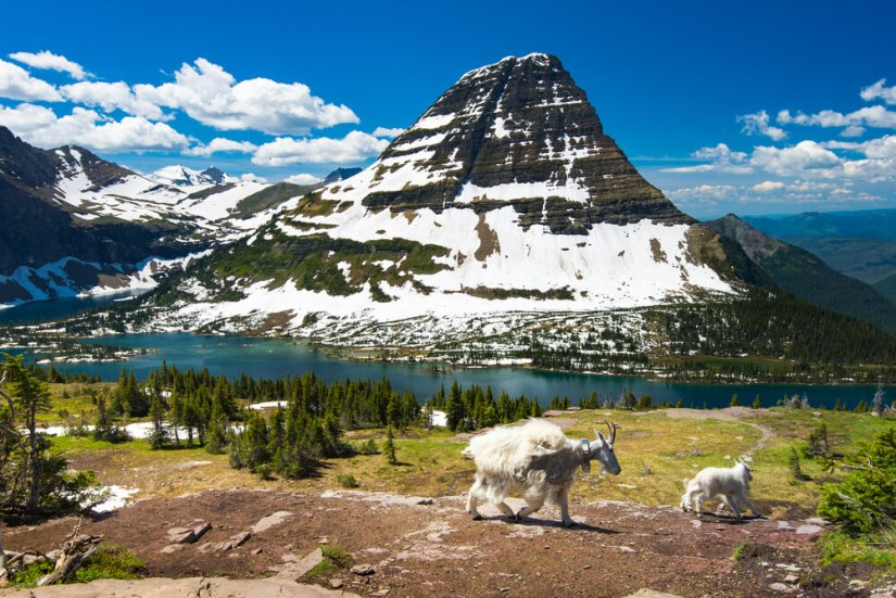 An adult white mountain goat and its baby walking in the landscape of Glacier National Park with an alpine lake below and a mountain half-covered in snow, the rest clear of snow.