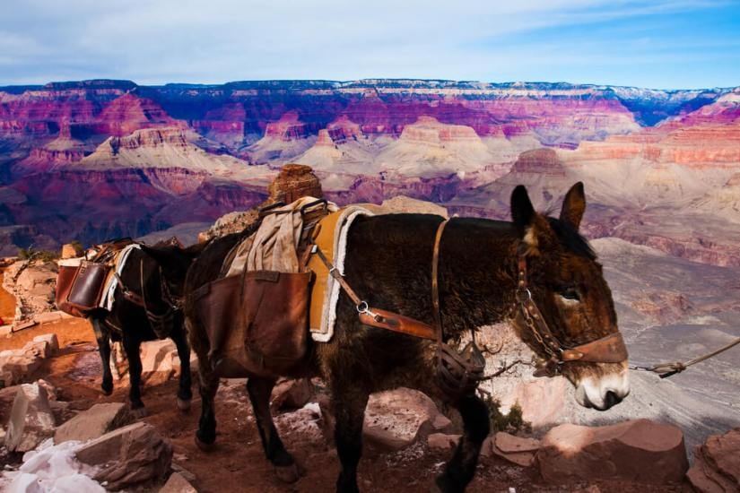 Mules wearing a winter pelt and saddle traveling into the Grand Canyon, which has some snow on the side of the trail.